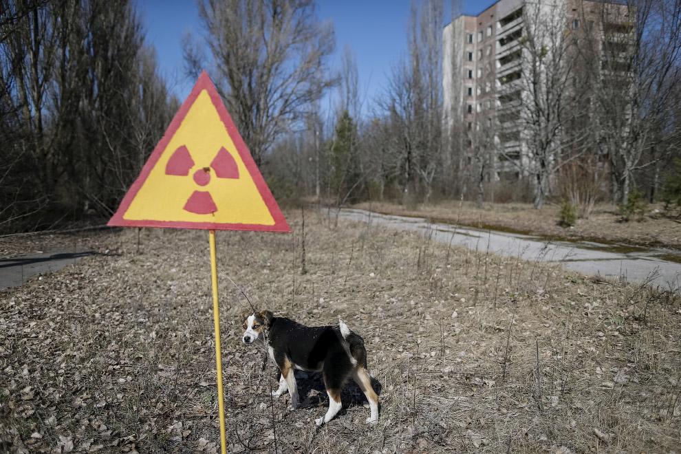 Радиоактивная собака