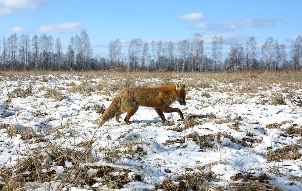 чернобыльская лиса