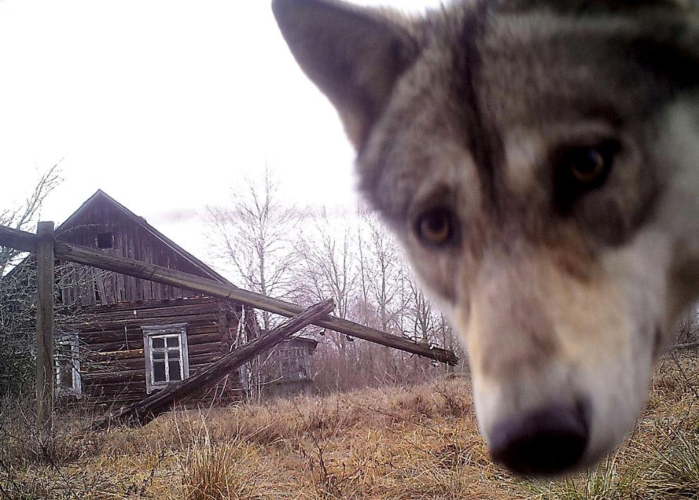 Любопытный чернобыльский волк
