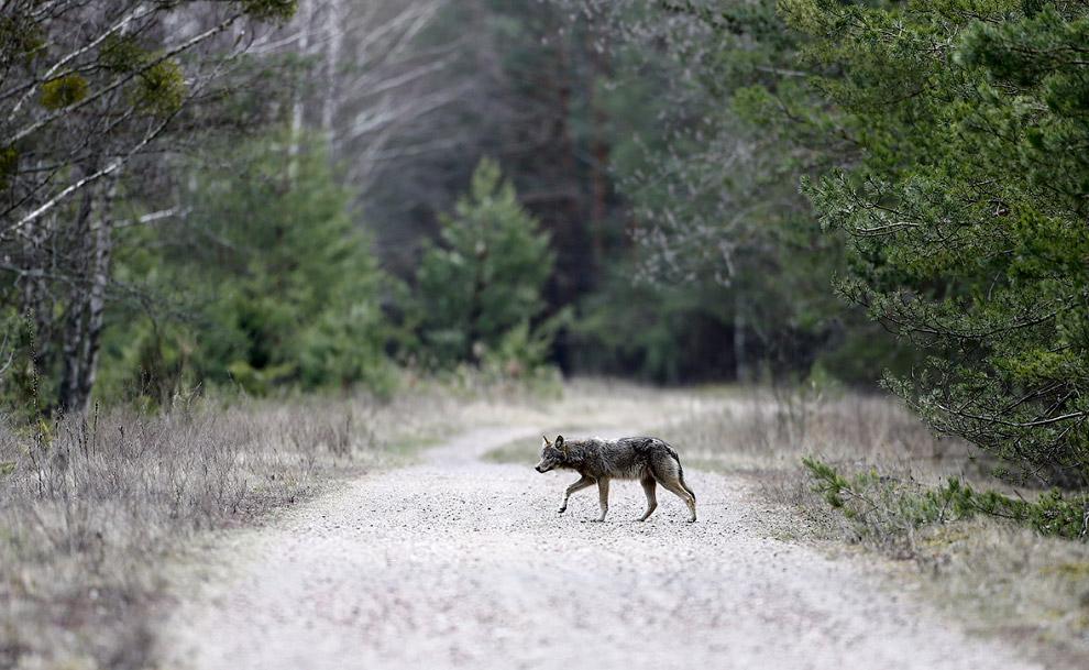Волк внутри зоны отчуждения вокруг Чернобыльской АЭС