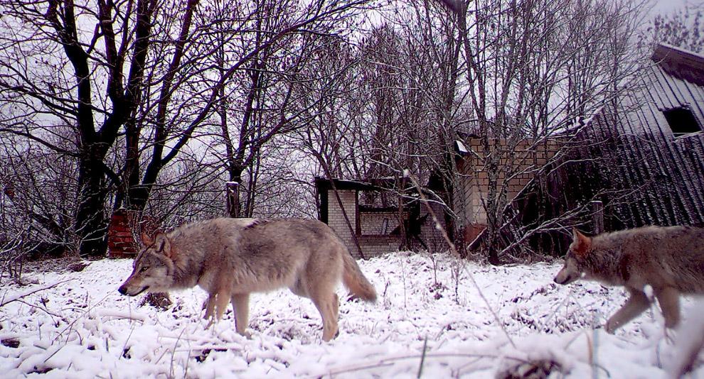 Волки рыщут по деревне в Белоруссии, находящейся внутри зоны отчуждения