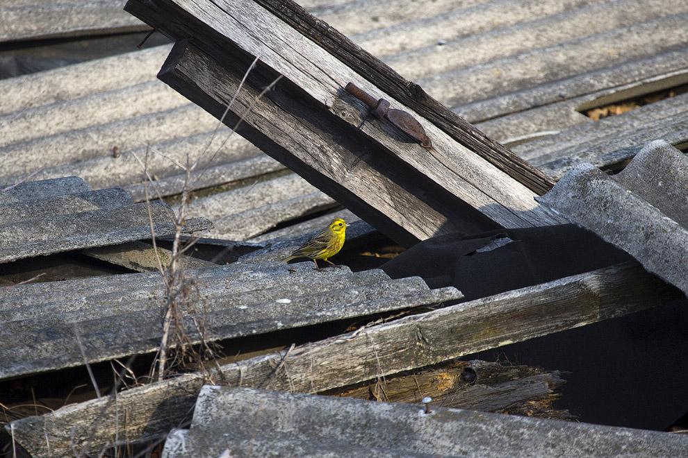 Чернобыльская овсянка