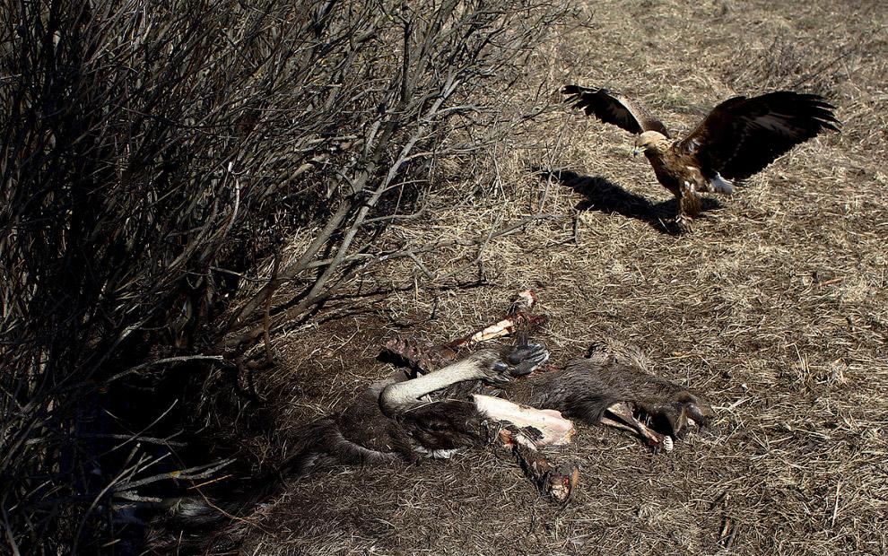 Чернобыльский беркут нашел останки лося