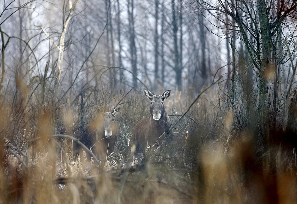 Чернобыльские лоси