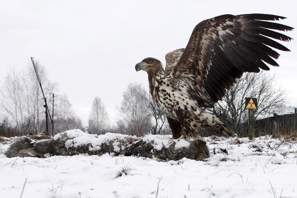 Гордый чернобыльский орлан-белохвост
