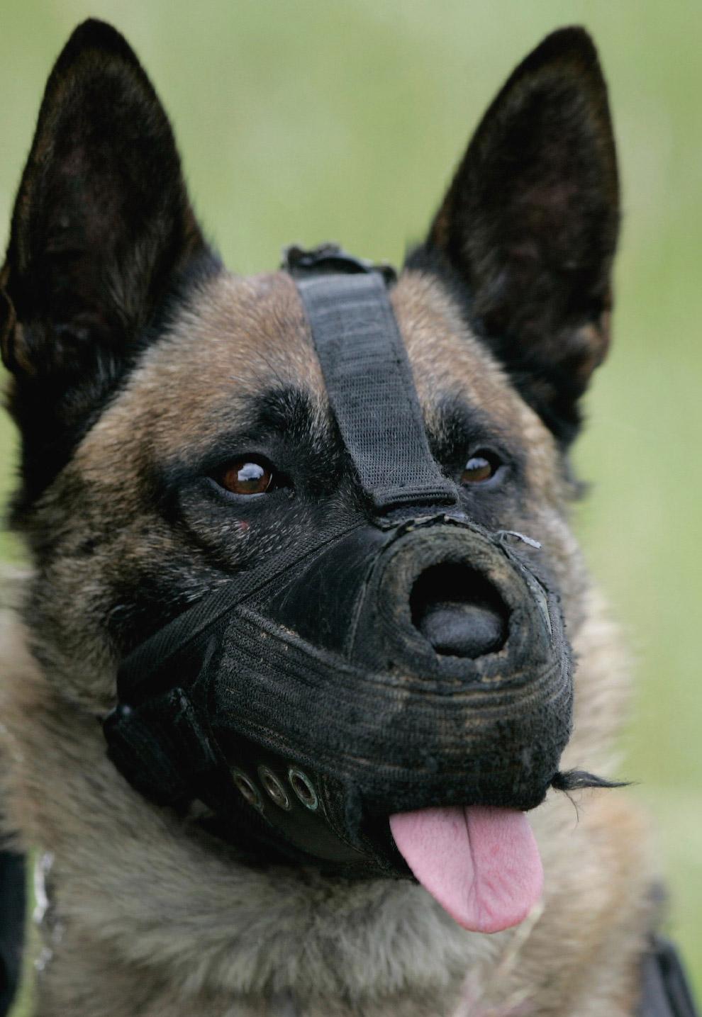 Собака-парашютист в Мерциге, Германия