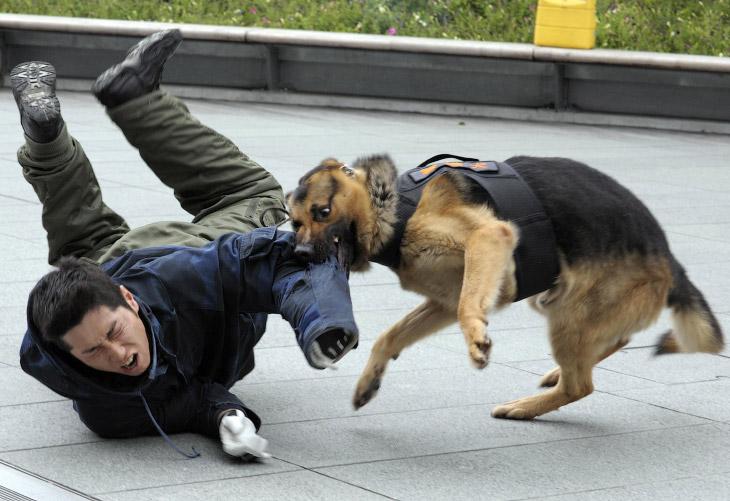 Собака-полицейский на тренировке в Токио