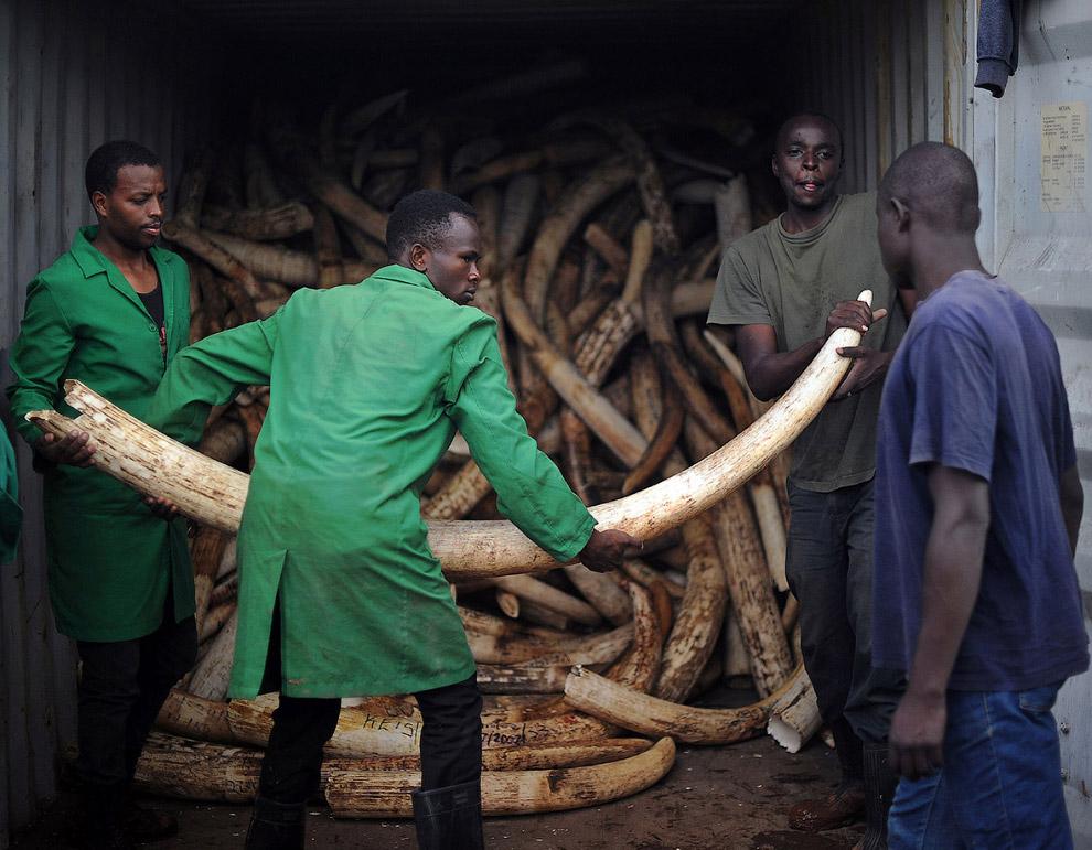 Конфискованные контрабандные бивни слонов