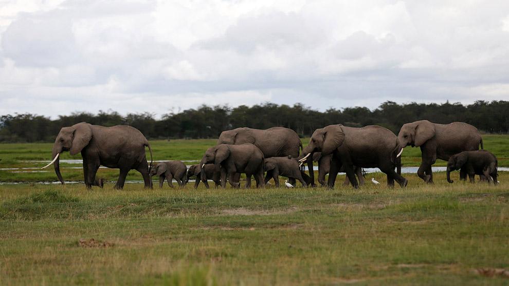 Стадо слонов в Национальном парке Амбосели