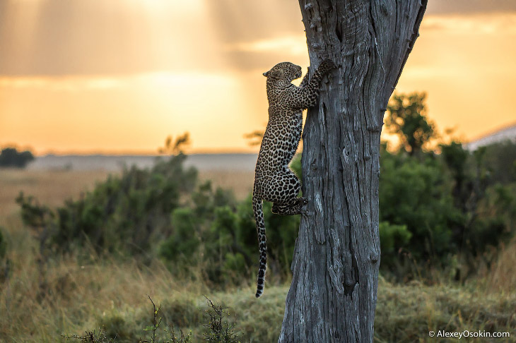 Леопард из Масаи-Мара