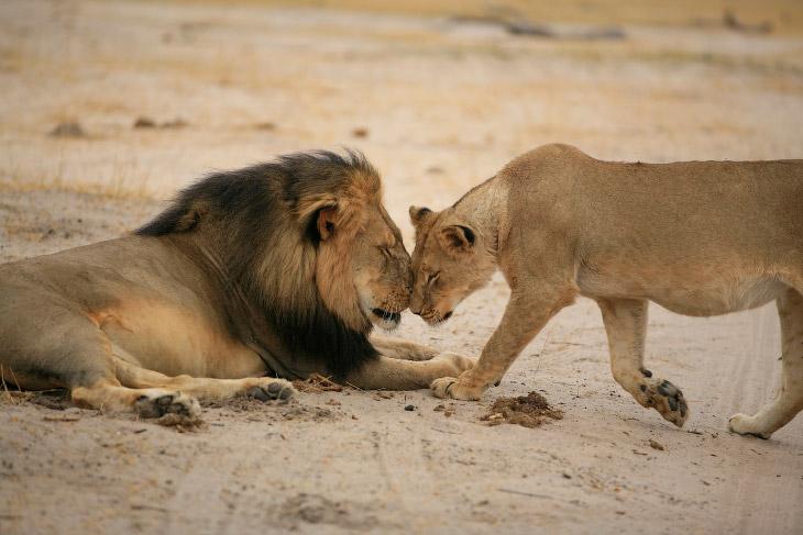 Национальный парк «Хванге» и лев Сесил