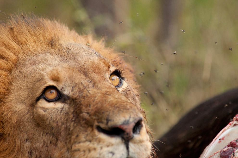 Львиный взгляд