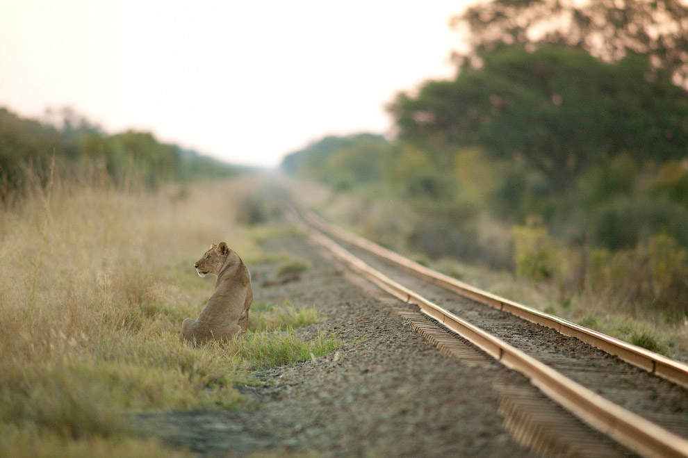 Львица и железнодорожная ветка в национальном парке «Хванге»