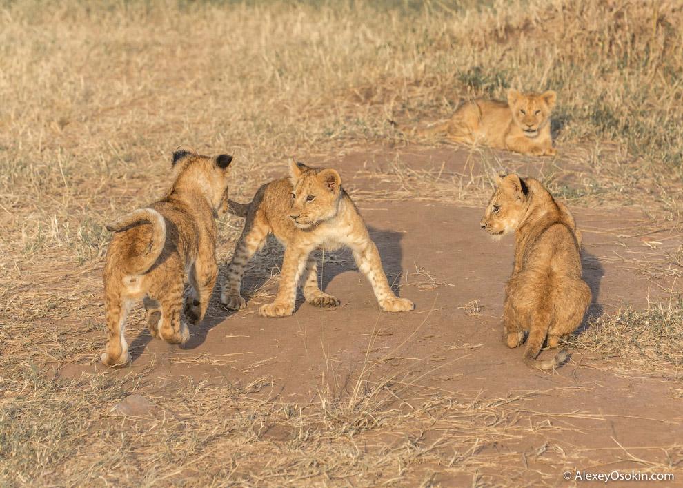 Львиные истории Масаи-Мары