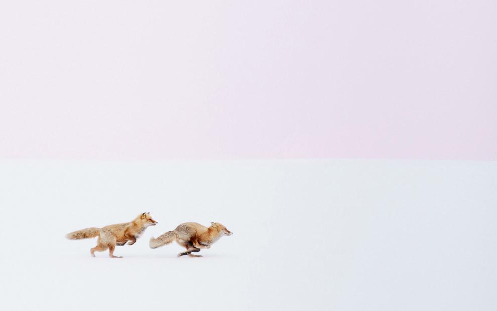 Романтичные лисы в Хоккайдо, Япония