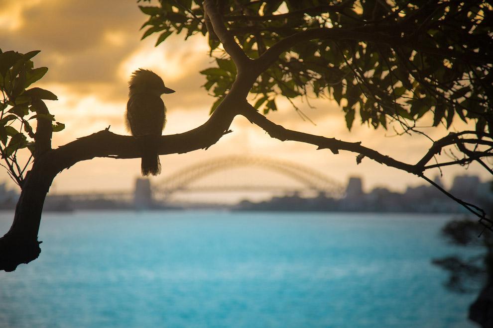 Кукабарра или гигантский зимородок, Сидней, Австралия