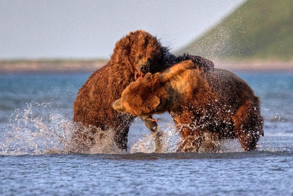 Борьба за лосось, Аляска