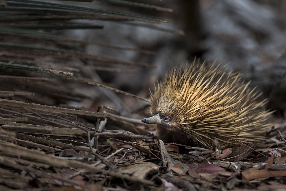 Ехидна на острове Кенгуру, Австралия