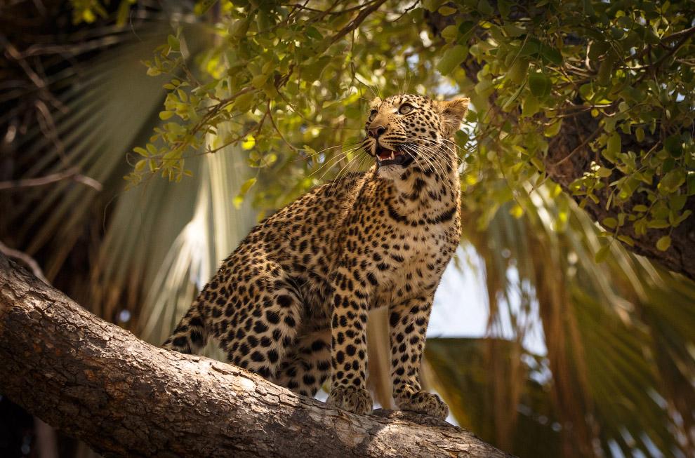 Красавец-леопард из Ботсваны.