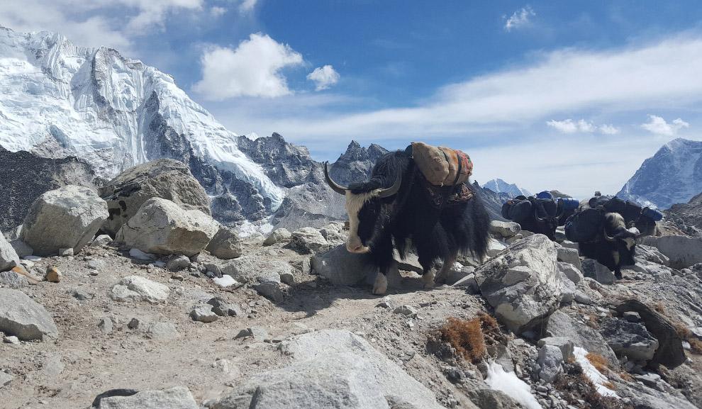 Яки в в базовом лагере Эвереста