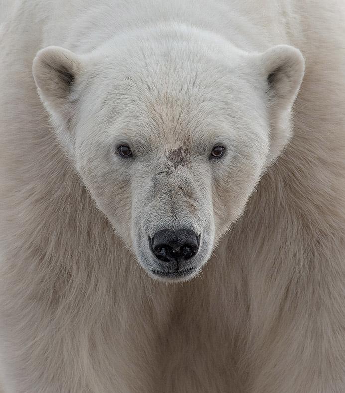 Лицом к лицу с белым медведем. Свальбард, Норвегия