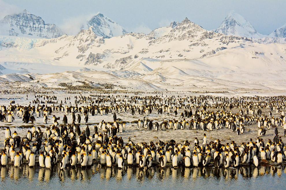 Тысячи королевских пингвинов в Южной Георгии