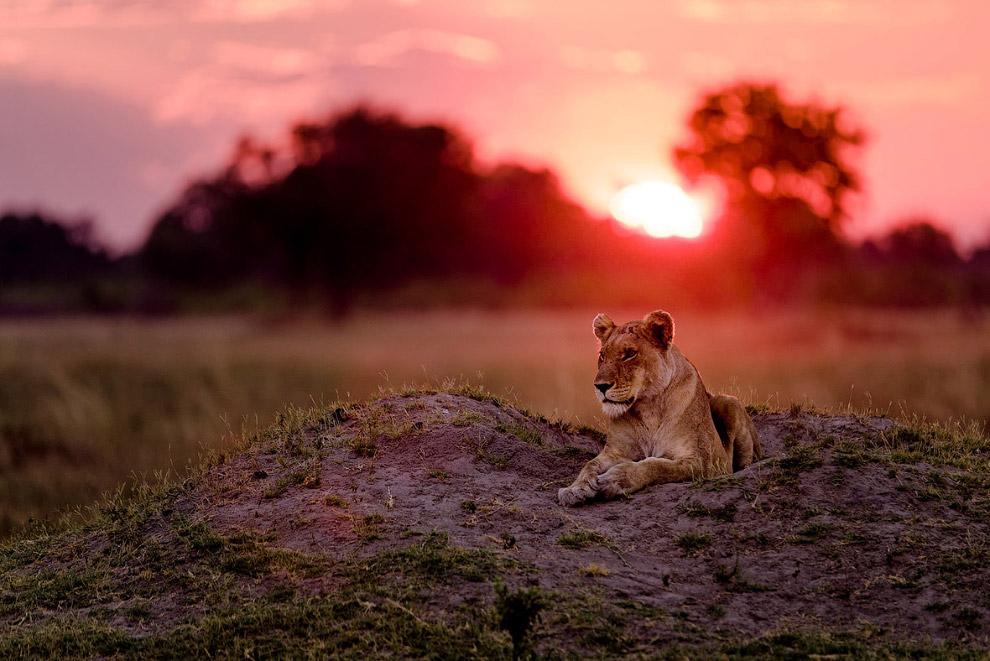 Львица на закате