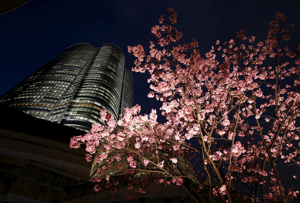 Вишневые деревья и небоскреб в Токио