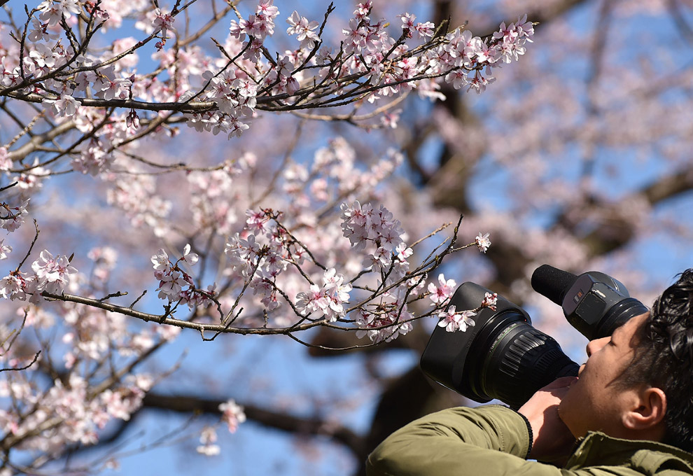 Цветение сакуры в парке Уэно, Токио