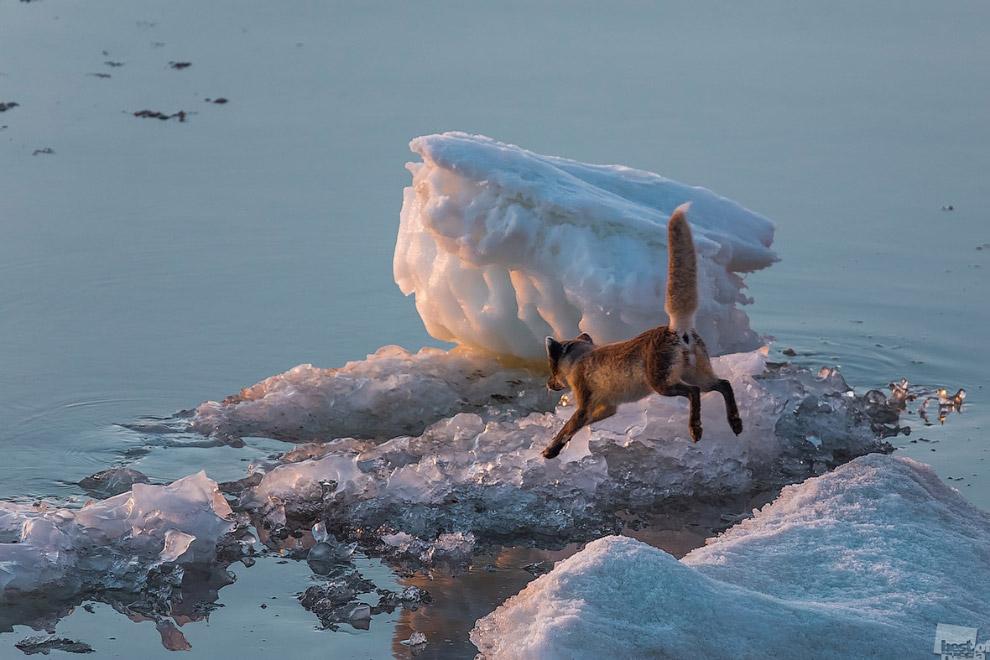 Полярная лисица и море Лаптевых