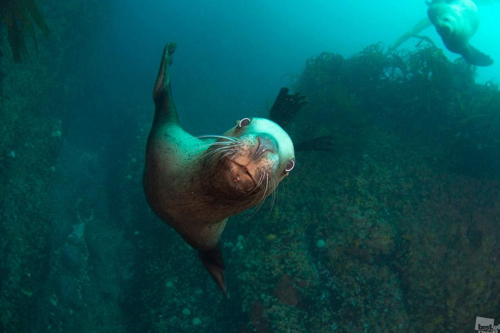 Северный морской лев, Камчатка
