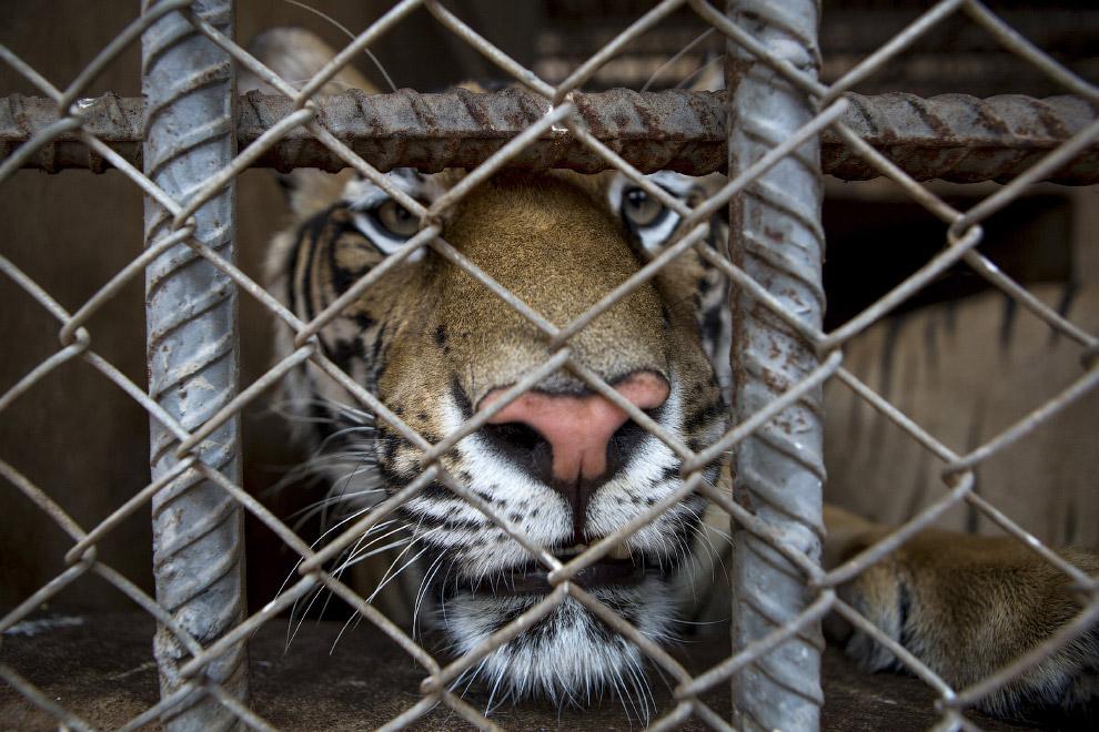 tiger_18