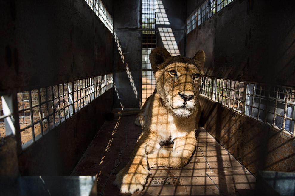 Львица перед выпуском на волю