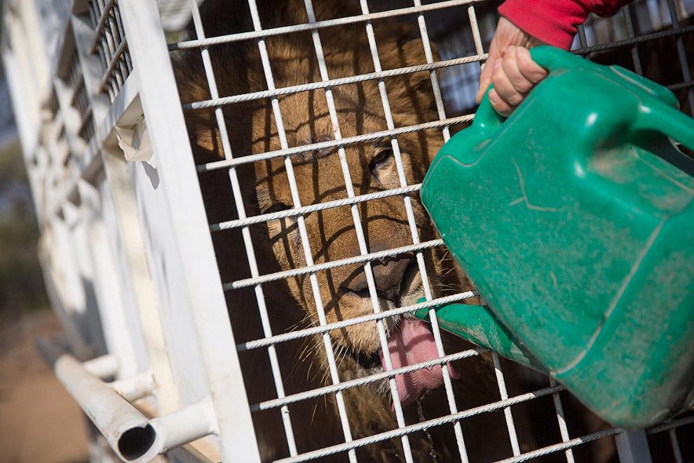 Львов выпускали на волю по очереди, ожидающих поили водой