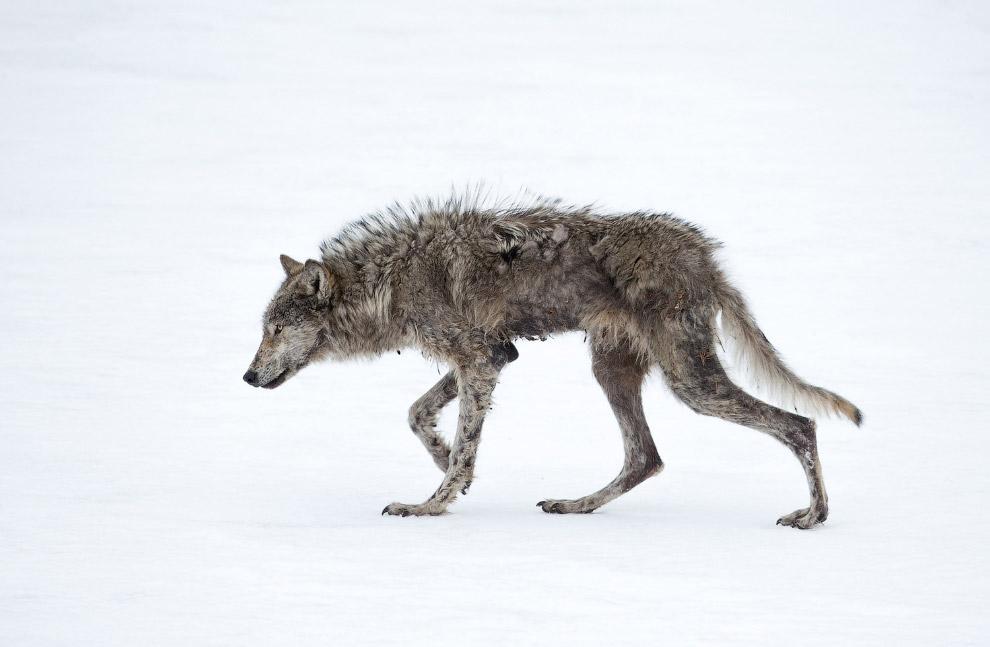 Голодный и ослабленный, Йеллоустонский национальный парк