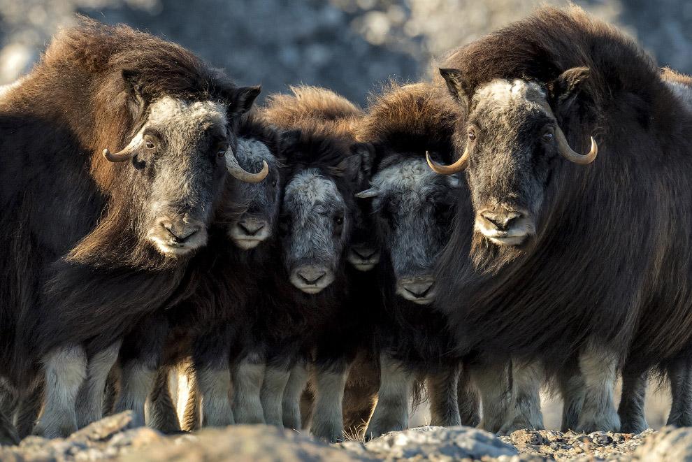 Напряженный момент у фотографа в Гренландии
