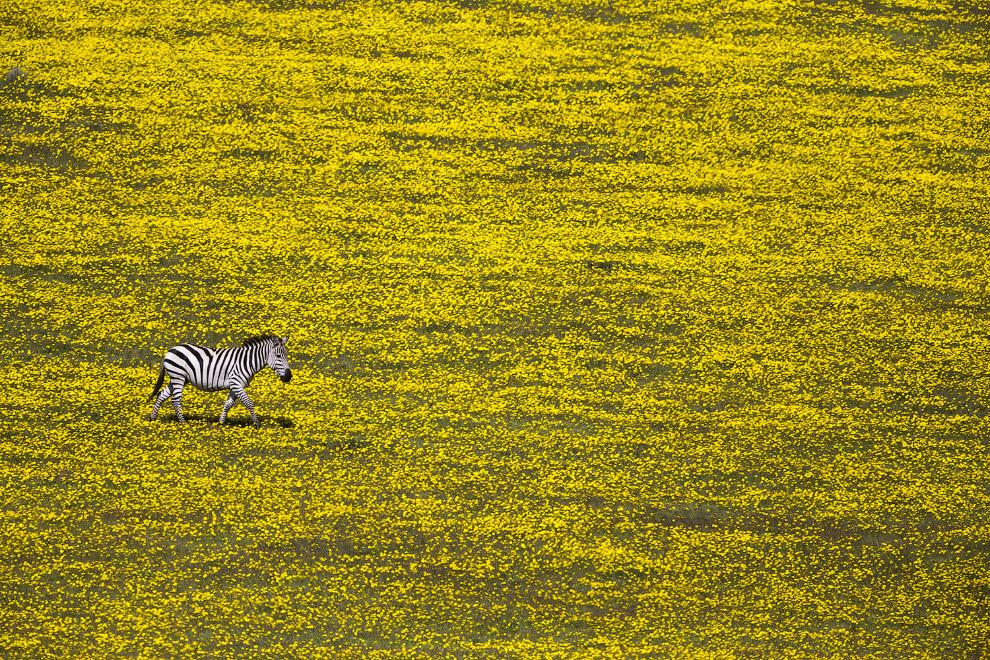 Одинокая зебра на цветочном поле, Национальный парк Серенгети, Танзания