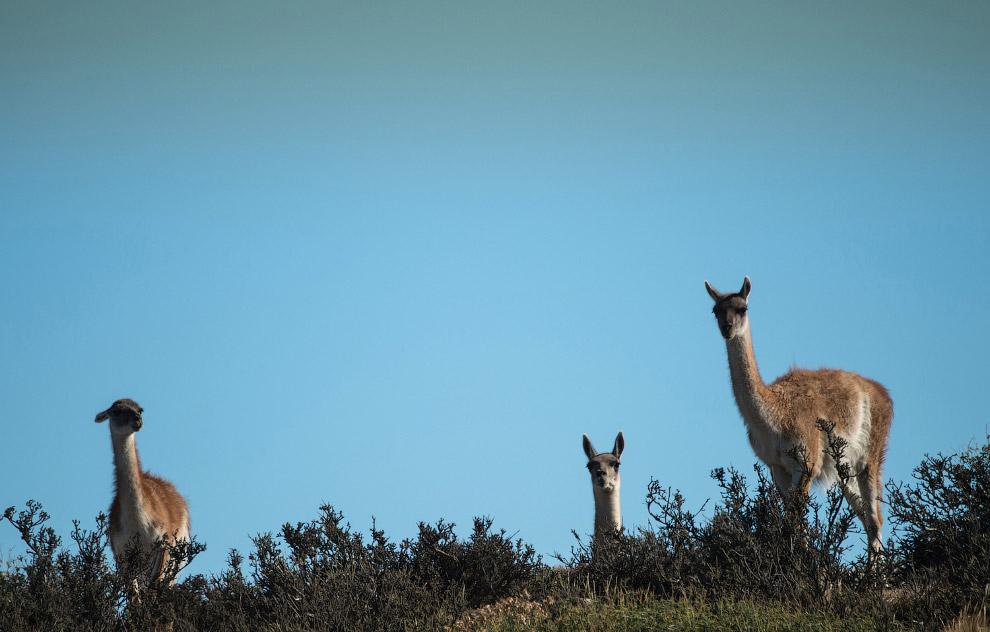 ламы семейства верблюдовых
