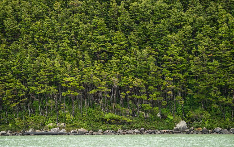Лес возле ледника Серрано