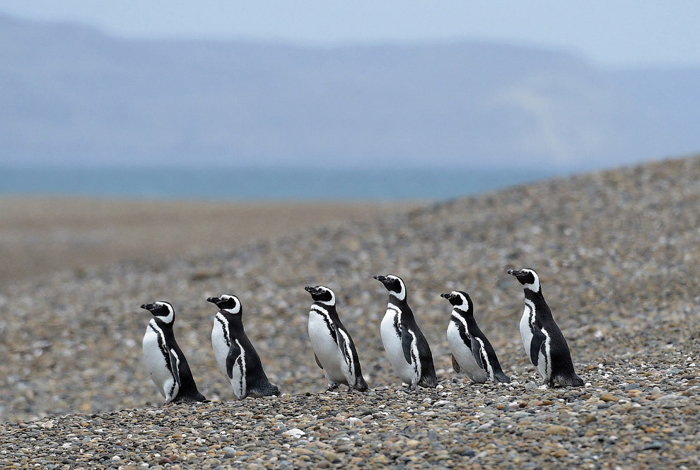 Магеллановы пингвины ходят стройною толпой