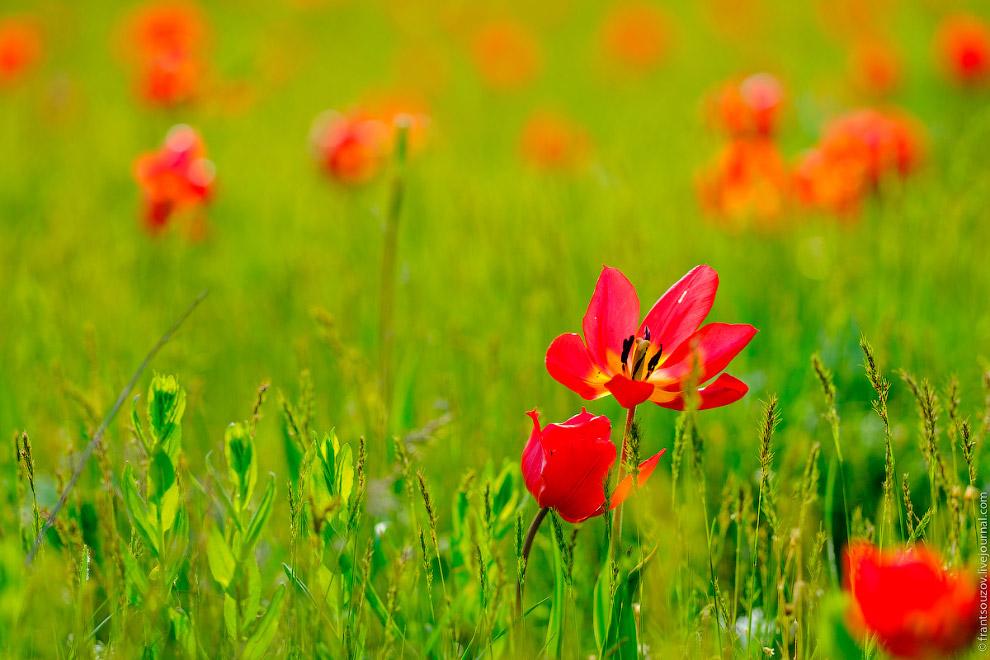 Цветение степи