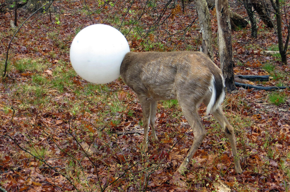 Олень как-то умудрился засунуть голову в фонарь в лесу около Нью-Йорка