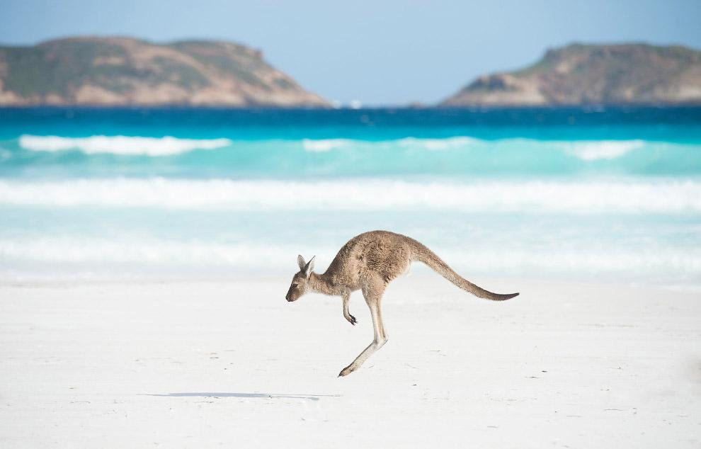 Кенгуру на побережье Австралии