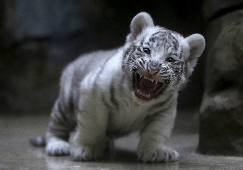 Недавно родился белый тигренок в зоопарке в Чешской Республике