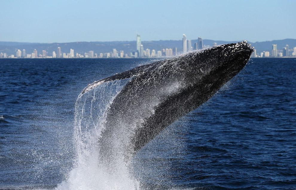 Горбатый кит, выпрыгивающий из воды