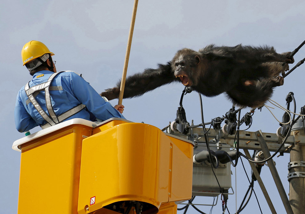 Сбежавший из зоопарка шимпанзе на линиях электропередач