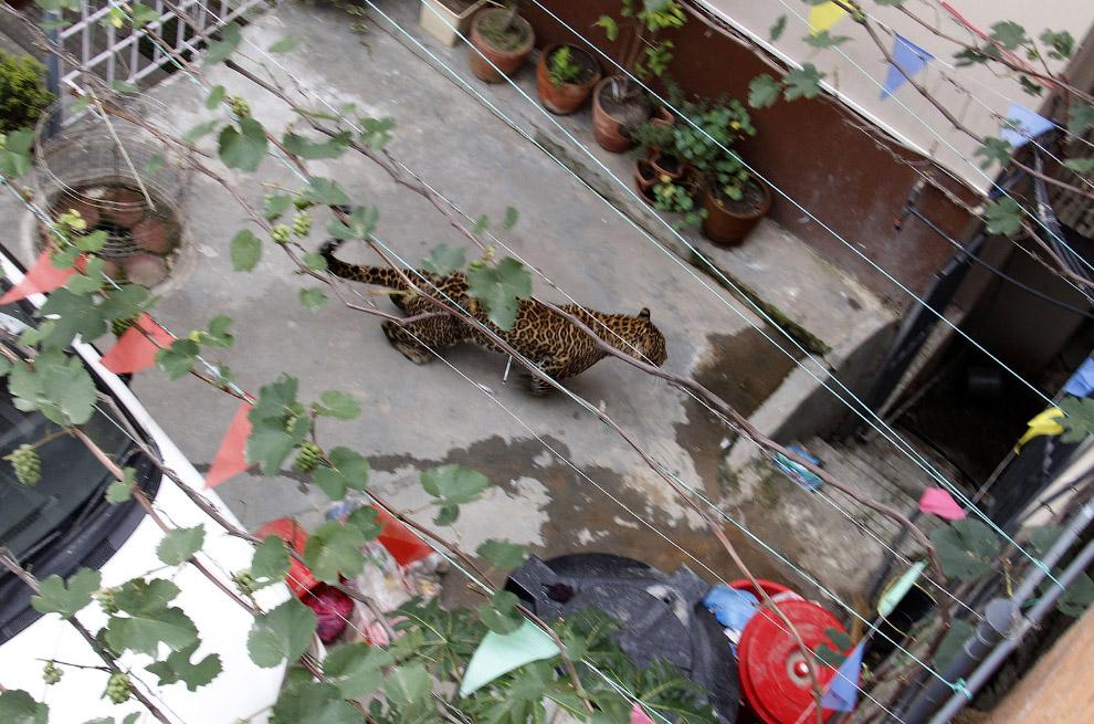 заблудившийся леопард