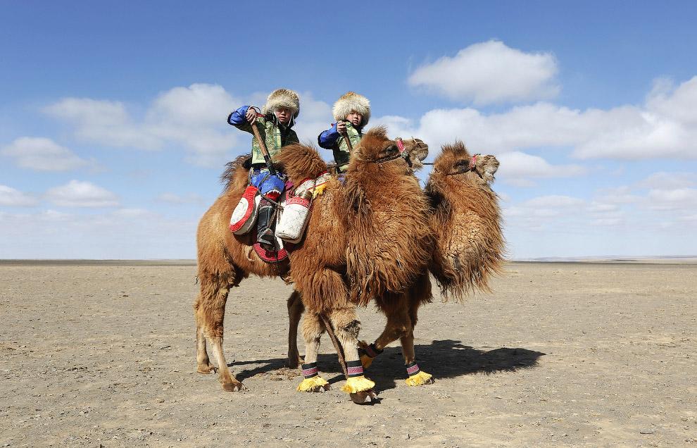 Весной, в монгольских степях Гоби проходит крупнейшие гонки на верблюдах в мире