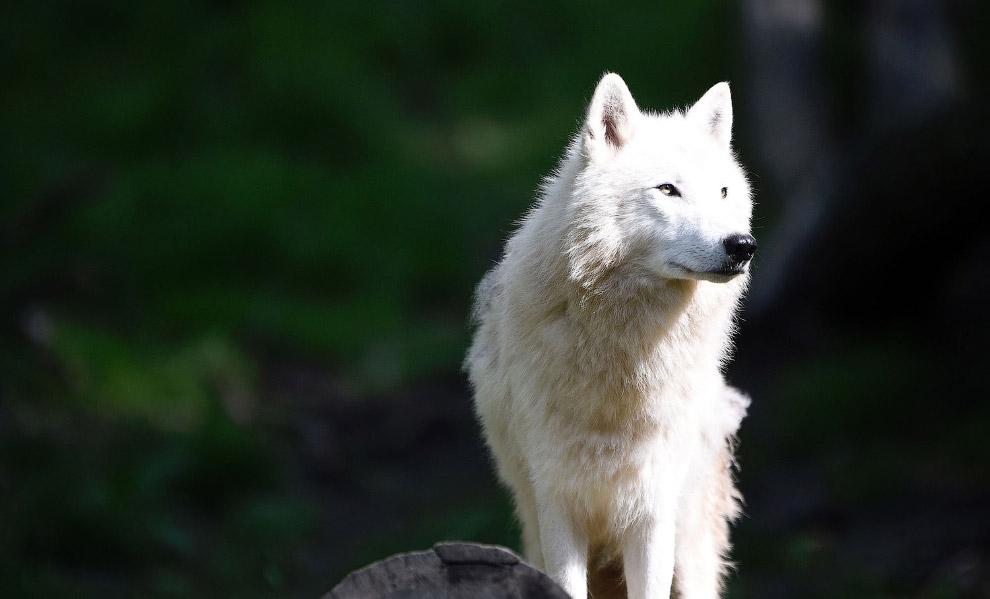 Волк островной мелвильский