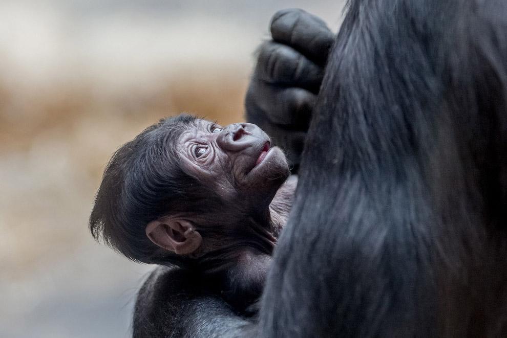 Равнинные гориллы в Пражском зоопарке